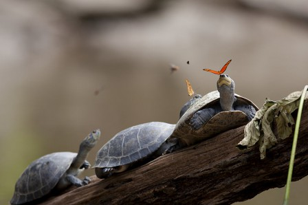 Auteur_Amalavida__Tv_A_butterfly_feeding_on_the_tears_of_a_turtle_in_Ecuador.jpg_auteur_amalavida_.jpg